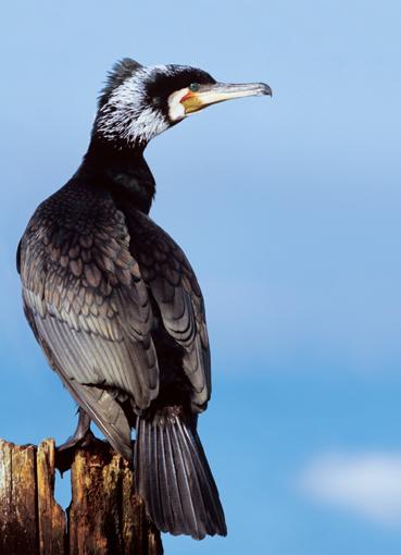 ratevogel